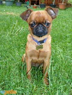 """TONKA  """"When she needs comfort, she climbs and sits around my neck somehow,"""" says Valentina Beketic of her 5-month-old Brussels Griffon, who must be very comfortable knowing she's beloved by 1,793 readers."""