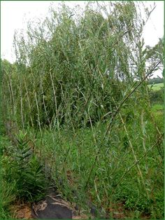 Willow fedge for around the patio.