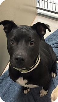 Joplin, MO - Pit Bull Terrier Mix. Meet Winter 108482 Vtg, a dog for adoption. http://www.adoptapet.com/pet/14313948-joplin-missouri-pit-bull-terrier-mix