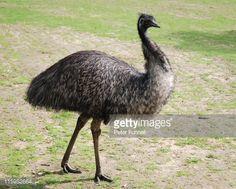 Stock Photo : Emu goes walkabout
