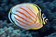 Ornate Butterflyfish | by David Fleetham