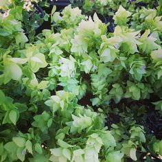 """""""Origanum acutidens is a rare oregano from Turkey and Iraq. Beautiful and tough."""""""