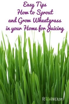 Learn some Easy Tips on How to Sprout and Grow Wheatgrass in your Home from Organic Seeds. Doesn't take long and when ready, Cut and Juice. Growing Wheat Grass, Organic Seeds, Organic Recipes, Sprouts, Juice, Herbs, Easy, Tips