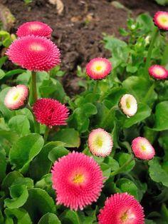 English daisies (Bellis perennis)