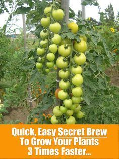 Grow Vegetables Quick, Easy, Secret Brew To Grow Your Plants 3 Times Faster… Edible Garden, Lawn And Garden, Vegetable Garden, Garden Plants, Growing Veggies, Growing Tomatoes, Growing Plants, Organic Gardening, Gardening Tips