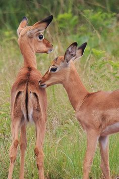 Baby Impalas by Gavin Emmons| Flickr