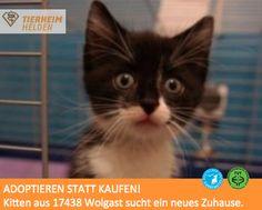 Dieses Kitten hatte sich hoffnungslos im Zaun verfangen, als es von einer Spaziergängerin aufgelesen wurde.  http://www.tierheimhelden.de/katze/tierheim-wolgast/ekh/kitten/4867-1/  Naturgemäß seinem Alter ist das Kitten sehr verspielt, tollpatschig und verschmust. Toll wäre, wenn ein gleichaltriger Spielkamerad im neuen Zuhause wäre. Das ist aber kein Muss.
