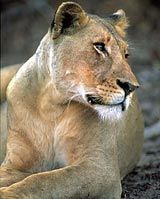 "Amongst South Africa's amazing ""Big Five"" animals are the Lion, Leopard, Rhino, Buffalo and Elephant."