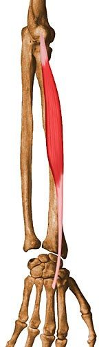 Extensor Carpi Radialis Brevis: Origin - lateral epicondyle of humerus. Insertion - base of 3rd metacarpal. Action - extend and abduct hand at wrist joints.