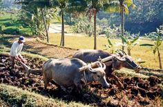 Water Buffalo ploughing rice fields near Salatiga, Central Java, Indonesia Principles Of Ecology, History Of Agriculture, Plant Breeding, Rice Paddy, Sustainable Farming, Water Buffalo, Environmental Issues, Phuket, Southeast Asia