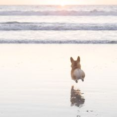 Geordi La Corgi runs, er, flies to the ocean. Love those little legs! Look at Le happy puppy Animals And Pets, Baby Animals, Funny Animals, Cute Animals, Cute Puppies, Cute Dogs, Dogs And Puppies, Teacup Puppies, Corgi Dog