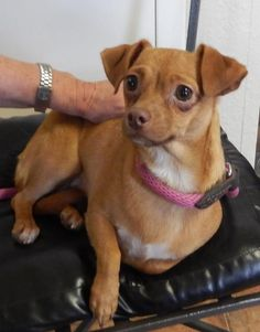 Penny was a rescue from Amarillo Animal Control She is a female Chihuahua mix. She is about 1 1/2 years of age. A small indoor girl who loves to play with the other little dogs. Amarillo TX