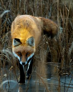 Fox Photo - 122 Pictures Nature Animals, Animals And Pets, Baby Animals, Funny Animals, Cute Animals, Wild Animals, Beautiful Creatures, Animals Beautiful, Fuchs Baby