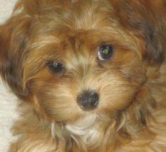 Havapoo Puppies Available in Phoenix & Tucson, AZ