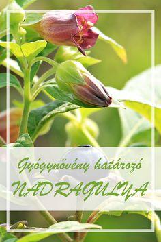 A Nadragulya népies neve:  Maszlagos nadragulya.  Hogyan gyűjtsük a Nadragulya gyógynövényt?  A növény levelét és gyökerét használják gyógyászati célokra. A gyökeret késő ősszel gyűjtik. Herbal Medicine, Herbalism, Herbs, Vegetables, Plants, Herb, Vegetable Recipes, Plant, Medicinal Plants