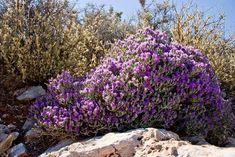 Η Υγεία, ο Έρωτας καί η Ψυχική Υγεία: Θυμάρι, εξολοθρεύει τα μικρόβια εντός 60 λεπτών! -... Aromatic Herbs, Medicinal Herbs, Santorini, Crete Holiday, Planting Plan, Mediterranean Garden, Unique Plants, Lilac Flowers, Shrubs