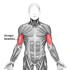 Improve posture with this simple technique. Alleviate back pain. Use a back brace to achieve the perfect posture. Live a life free of back pain. Natural Posture's infromation on posture improvement and correction. Rectus Abdominis Muscle, Ultimate Ab Workout, Yoga Muscles, Oblique Workout, Perfect Posture, Bad Posture, Better Posture, Muscle Anatomy, How To Get Abs