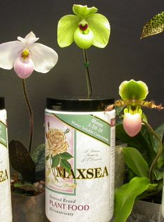 Having trouble getting your Orchids to re-bloom?  MAXSEA Blossom Booster Plant Food (3-20-20) is designed to encourage flower production on all plants, indoors and outdoors.