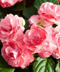 Double Busy Lizzy pink-white - Young Plants | Plants from Spalding Bulb