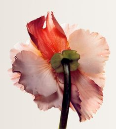 Tuberous begonia photographed by Irving Penn.