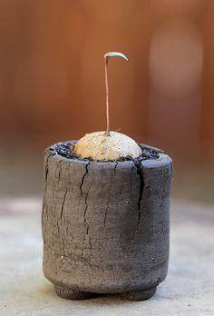 Eriospermum halenbergense