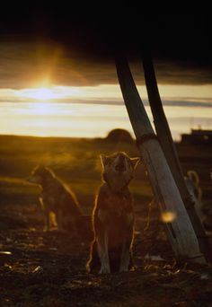 A sled dog, tied to a whale rib, howls under the midnight sun in Alaska, 1969