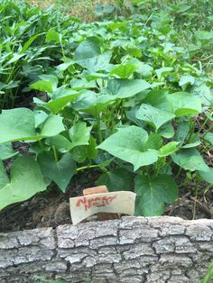 Sweet Potato Greens are a tasty and nutritious summer green that can be harvested without dramatically reducing your tuber yield.