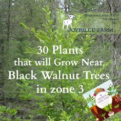 You may wonder if there are ANY plants that will grow near black walnut trees? Here's 30 plants that will grow near black walnut trees in zone 3.