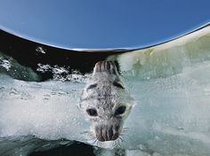 Picture of a baby harp seal in the Madeleine Islands