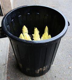 Des endives bio dans des poubelles