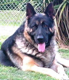 Old-Fashioned, Thick Boned, Large German Shepherd Breeder 11