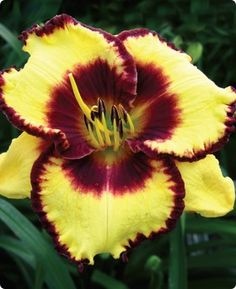 Calico Jack - (Trimmer, 1998) height 28in (71cm), bloom 5.5in (14.0cm), season EM, Evergreen, Tetraploid, 25 buds, 3 branches,  Yellow with plum eyezone and green throat. (Fooled Me × Pirate's Patch)