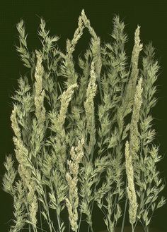 12930 grass (under harry lauders), Phlaris 312 by horticultural art, via Flickr