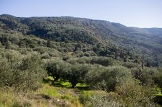 Lefkada olive groves and cypresses, Greece