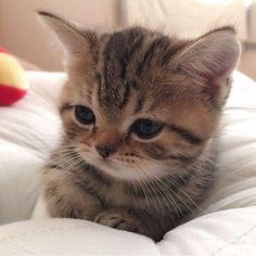 Tabby Kitten I iz hunggrryyy. Click the Photo For More Adorable and Cute Cat Videos and Photos Cute Baby Cats, Cute Cats And Kittens, Cute Baby Animals, Kittens Cutest, Ragdoll Kittens, Funny Animals, Farm Animals, Tabby Cats, Kitty Cats