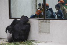 Gorilla #fotografia #animali #scimmie #gorilla
