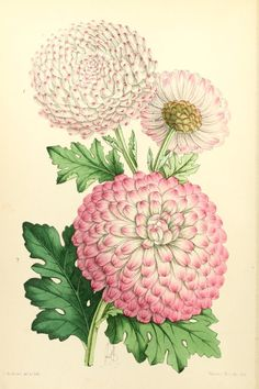 Chrysanthemums (Mrs Huffington and Captivation). Plate from The Floral Magazine (1868)