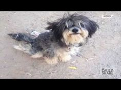 Abused Disabled Schnauzer Mix Dog To Become A Therapy Dog!   New Dog World