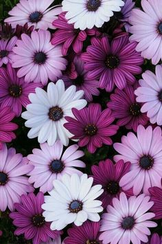 (Osteospermum) Single daisy flowers in shades of white, lavender, and purple. Blue centers accented by bright orange stamens. Sturdy, well-branched plants are loaded with blooms. Purple Wallpaper, Flower Wallpaper, Iphone Wallpaper, Trendy Wallpaper, Purple Backgrounds, Nature Wallpaper, Wallpaper Backgrounds, Amazing Flowers, My Flower