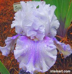 Solo Flight bearded iris rhizomes tuber corms bulbs
