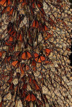 Borboleta Monarca - Pesquisa Google