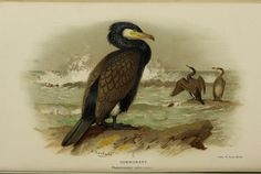 Cormorant - Coloured figures of the birds of the British Islands - A Thorburn