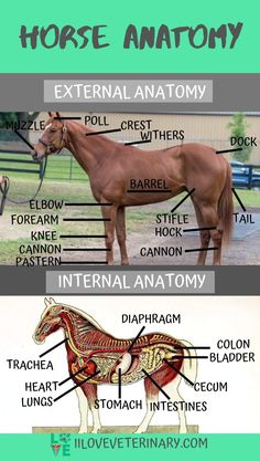 horse facts -know your horse's anatomy Large Animal Vet, Horse Information, Horse Riding Tips, Trail Riding, Horse Anatomy, Animal Anatomy, Horse Care Tips, Horse Facts, Horse Training