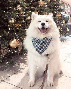 Samoyed Dog is One of the Most Stunningly Beautiful Dog Breeds - Dogs Beautiful Dog Breeds, Most Beautiful Dogs, Stunningly Beautiful, Cute Puppies, Cute Dogs, Dogs And Puppies, Puggle Puppies, Puppies Tips, Collie Puppies