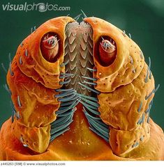 Colored SEM of a Rocky Mountain Wood Tick Head