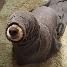 is this pup stuck or just trying on his Halloween otter costume?
