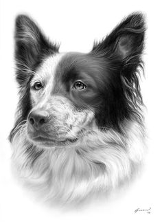 "Border Collie Dog Art ""Shadi"" by Alberto Guerra Pencil Drawings Of Animals, Scratchboard Art, Dog Artwork, Charcoal Art, Draw On Photos, Polychromos, Realistic Drawings, Dog Portraits, Animal Paintings"