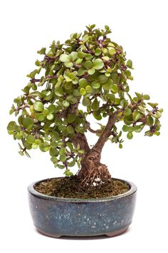 Certain varieties of the Jade bonsai can display small white flowers and red-tipped leaves. Learn how to grow and care for these low maintenance bonsai trees.