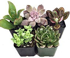 If you're concerned your succulent is dying due to over or under watering, you're in the right place! Find out how to tell in this post!