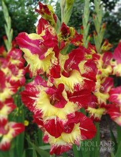 Stereo Gladiolus.. Wild and tropical, this Stereo Gladiolus is as flamboyant as they come! The brilliant sunshine yellow centers are surrounded by the vibrant red at the edges of each petal. Reaching up to 4' tall, these gladiolus will tower over the rest of your garden but will not topple in the wind.  Perennial in Zones 8 - 10.